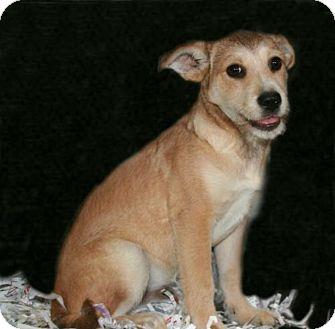 Border Terrier Mix Puppy for adoption in Lufkin, Texas - Willie