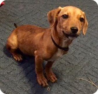 Dachshund Mix Puppy for adoption in Portland, Oregon - Honeycomb
