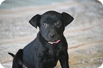 Labrador Retriever/Patterdale Terrier (Fell Terrier) Mix Puppy for adoption in Staunton, Virginia - Cora