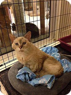 Siamese Cat for adoption in Columbus, Ohio - Agatha