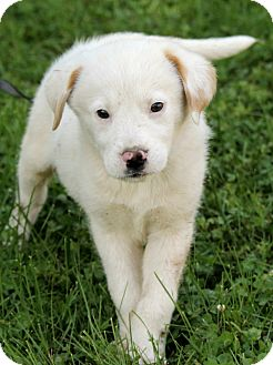 Great Pyrenees/Labrador Retriever Mix Puppy for adoption in Syracuse, New York - Maxton