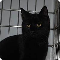 Domestic Shorthair Cat for adoption in Lafayette, New Jersey - Ollie