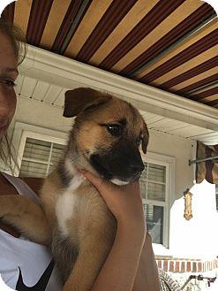 German Shepherd Dog Mix Puppy for adoption in Lima, Pennsylvania - Molly