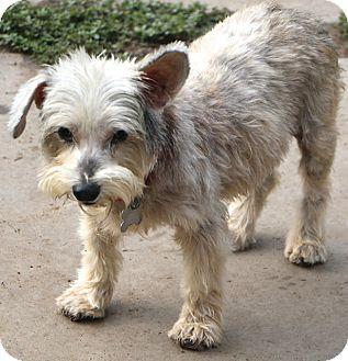 Schnauzer (Miniature) Mix Dog for adoption in Allentown, Pennsylvania - Acorn