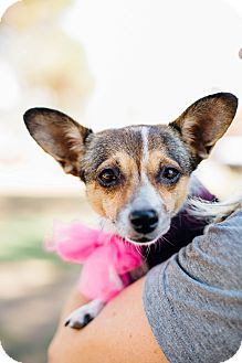 Pomeranian/Rat Terrier Mix Dog for adoption in Los Angeles, California - GinGin