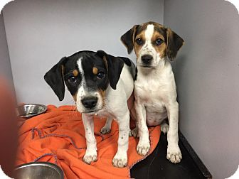 Smooth Fox Terrier/Beagle Mix Puppy for adoption in Glendale, Ohio - Holly