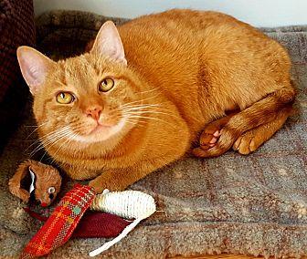 Domestic Shorthair Cat for adoption in N. Billerica, Massachusetts - Goldie
