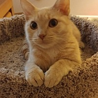 Adopt A Pet :: Madeline (Maddy) - Highland, IN