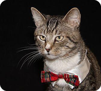 Domestic Shorthair Cat for adoption in Marietta, Ohio - White Nose (Neutered)-New Pics