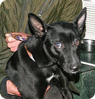 Labrador Retriever/Shepherd (Unknown Type) Mix Dog for adoption in NYC, New York - CUTTY