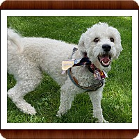 Bichon Frise Dog for adoption in Tulsa, Oklahoma - Magic - OH