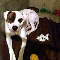 American Bulldog Mix Dog for adoption in Elwood, Indiana - Pete