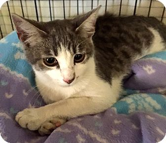 Adopt A Pet :: Genesis Rose, purring kitty!  - Corona, CA