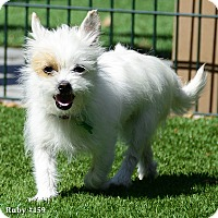 Adopt A Pet :: Ruby - Fremont, CA