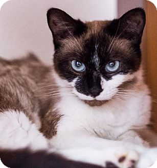 Siamese Cat for adoption in Baltimore, Maryland - Suki