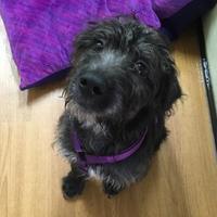 Adopt A Pet :: Domino - Oklahoma City, OK