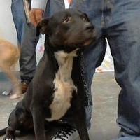 Labrador Retriever Mix Dog for adoption in Los Lunas, New Mexico - 35929629
