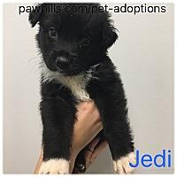 Adopt A Pet :: Jedi - Agoura Hills, CA