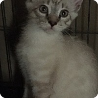 Siamese Kitten for adoption in Sacramento, California - Addie