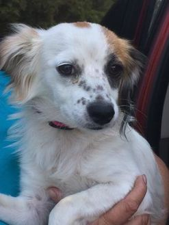 Terrier (Unknown Type, Small) Mix Dog for adoption in Redding, California - Eden($300)