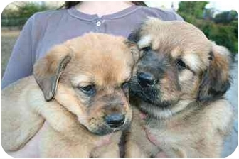 Labrador Retriever/Shepherd (Unknown Type) Mix Puppy for adoption in Sacramento, California - Alissa's Boys!