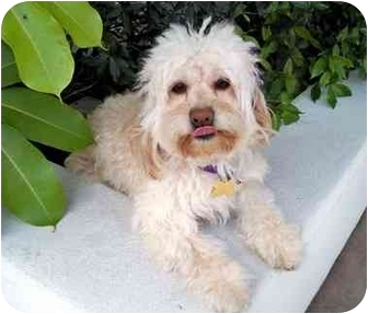 Cockapoo Mix Dog for adoption in Los Angeles, California - LOTUS