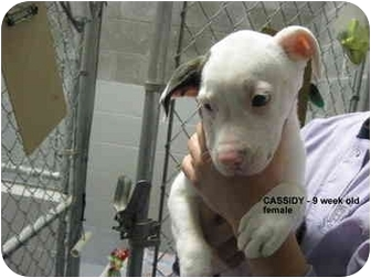 American Pit Bull Terrier Mix Puppy for adoption in Grants Pass, Oregon - Cassidy