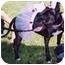 Photo 2 - American Pit Bull Terrier Mix Dog for adoption in Berkeley, California - Etta