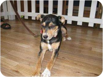 Terrier (Unknown Type, Small) Mix Puppy for adoption in Sarasota, Florida - Mikki Michelle