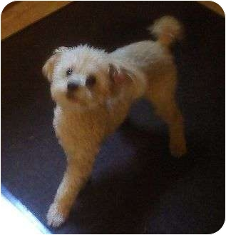 Poodle (Toy or Tea Cup) Dog for adoption in Proctorville, Ohio, Ohio - Murphy