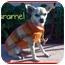 Photo 1 - Chihuahua Dog for adoption in San Clemente, California - CARAMEL
