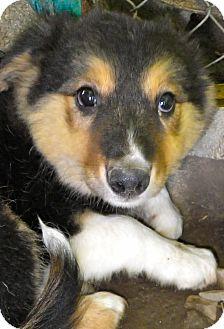 Border Collie Mix Puppy for adoption in Metamora, Indiana - Kami