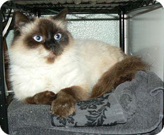Himalayan Cat for adoption in Davis, California - Zoey