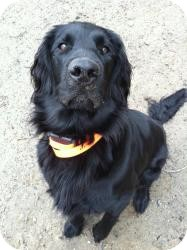 Flat-Coated Retriever Dog for adoption in Newtown, Connecticut - Bogie
