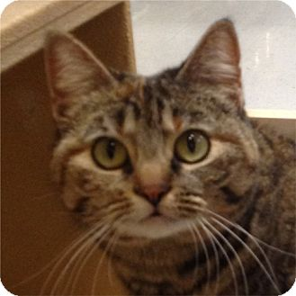 Domestic Shorthair Cat for adoption in Weatherford, Texas - Goldie