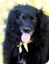 Spaniel (Unknown Type) Mix Dog for adoption in Sonoma, California - Daisy