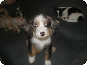 Australian Shepherd/Beagle Mix Puppy for adoption in Apex, North Carolina - Boomer
