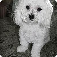 Adopt A Pet :: Shalom - North Palm Beach, FL