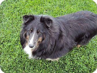 Sheltie, Shetland Sheepdog Dog for adoption in Abingdon, Maryland - Bella