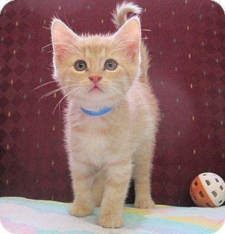 Domestic Mediumhair Kitten for adoption in Lloydminster, Alberta - Garfield