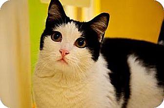 Domestic Shorthair Cat for adoption in Fort Smith, Arkansas - Delilah
