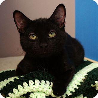 Domestic Shorthair Kitten for adoption in Naperville, Illinois - Ninja