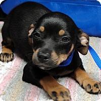 Adopt A Pet :: Mocha, Soda pop, Buttons - Tumwater, WA