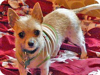 Chinese Crested/Toy Fox Terrier Mix Puppy for adoption in Los Angeles, California - Prairie! Portable Pet!