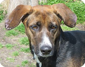 Greyhound Mix Dog for adoption in Elizabeth City, North Carolina - Lindy