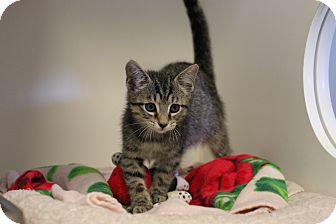 Domestic Shorthair Kitten for adoption in Staunton, Virginia - Trip