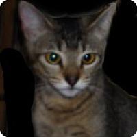 Adopt A Pet :: Tinker Belle - Dallas, TX