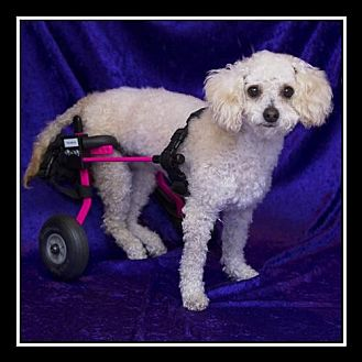 Toy Poodle Dog for adoption in Imperial Beach, California - Cookie