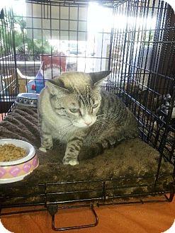 Siamese Cat for adoption in Phoenix, Arizona - Crystal