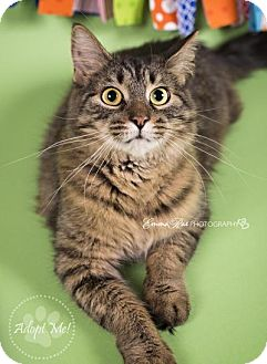 Domestic Shorthair Cat for adoption in Sterling Heights, Michigan - Lilly